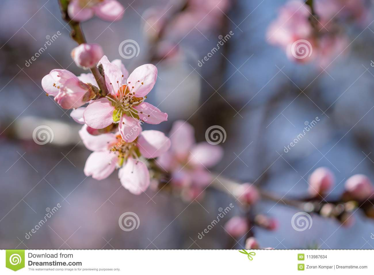 Blooming beautiful pink peach flowers on branches. April spring