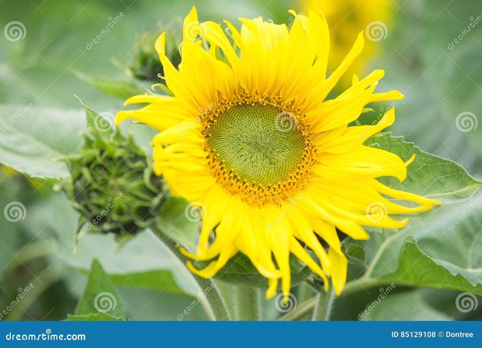 Blooming big sunflowers