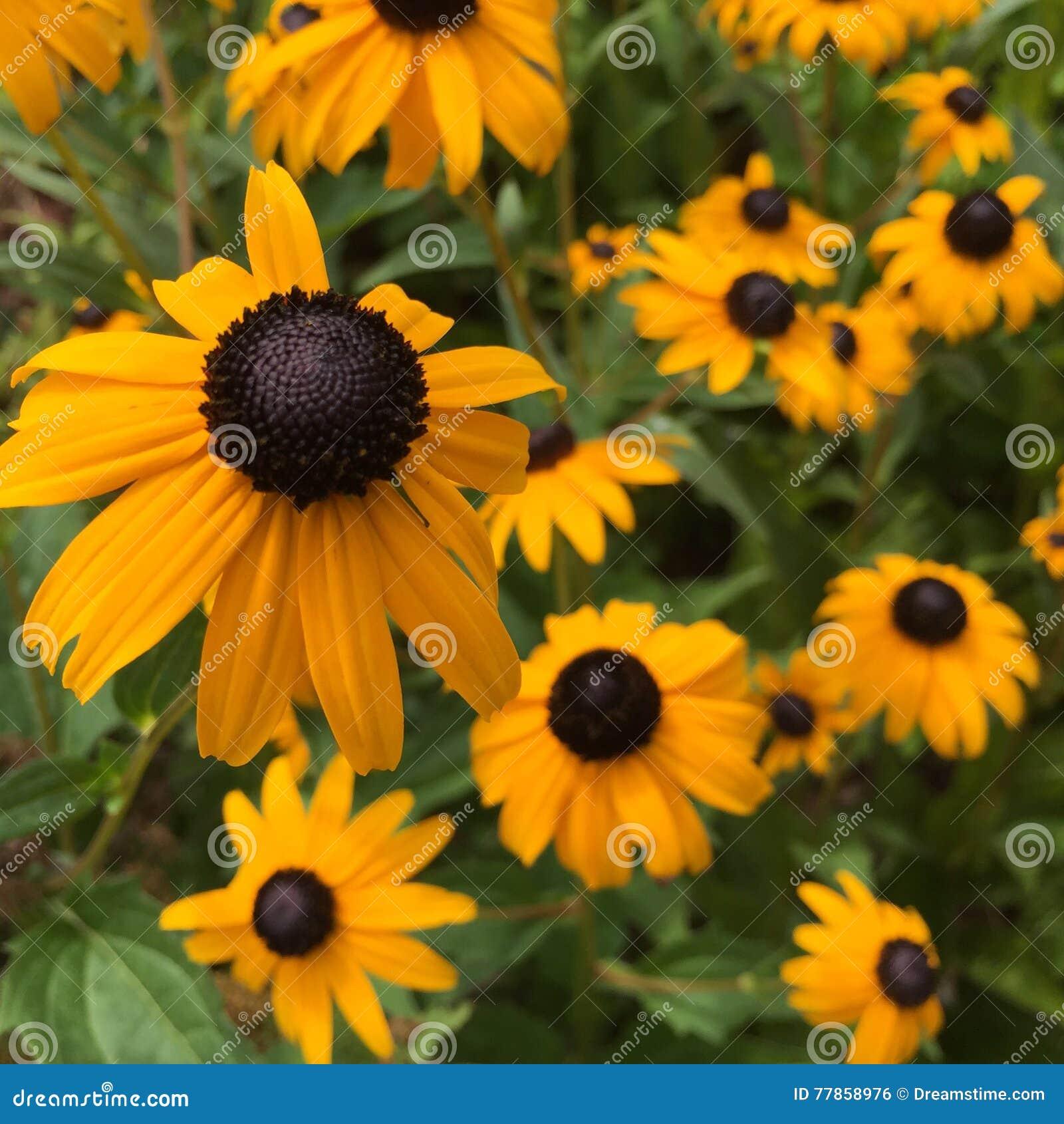 Blooming Black-Eyed-Susan Flowers (Rudbeckia hirta)