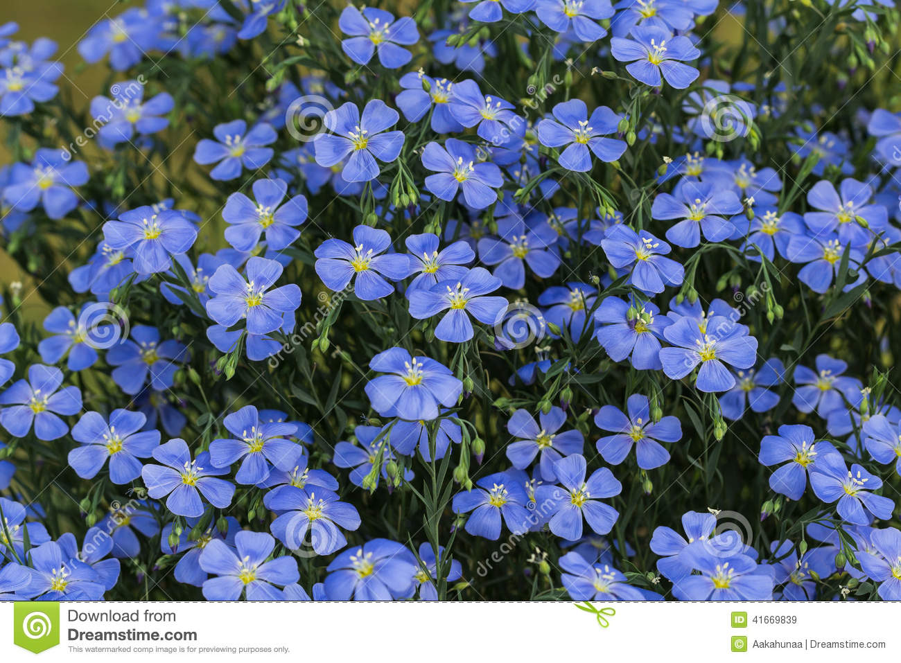 Blooming Blue Cosmos Stock Image Image Of Environment 41669839