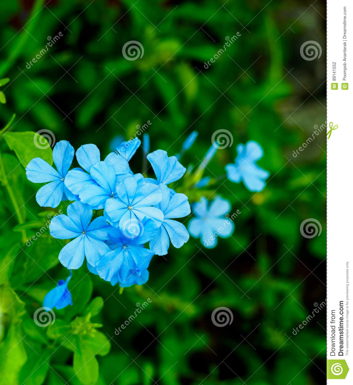 The blooming blue flowers plumbago auriculata stock photo image of download the blooming blue flowers plumbago auriculata stock photo image of lavandulifolium blue izmirmasajfo