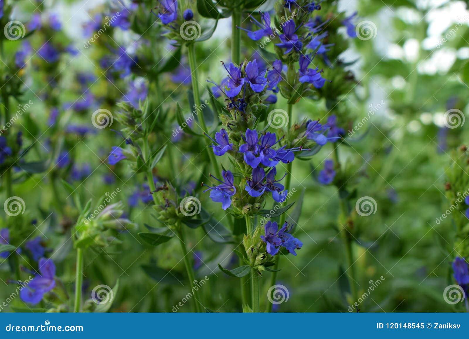 Blooming blue hyssop