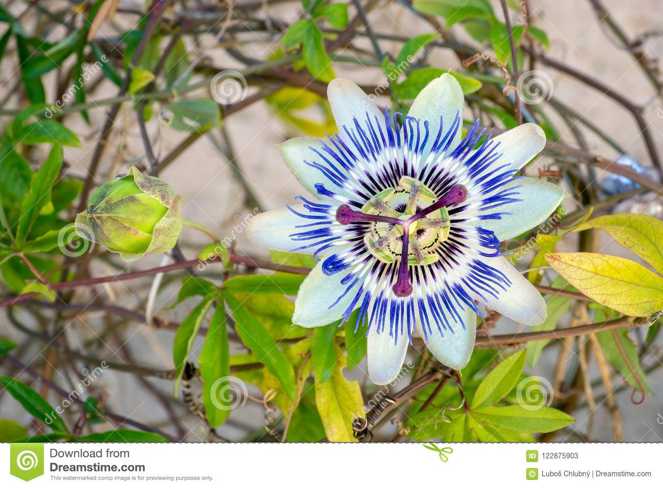 Blooming Blue Passion Flower Stock Image Image Of Garden Foliage