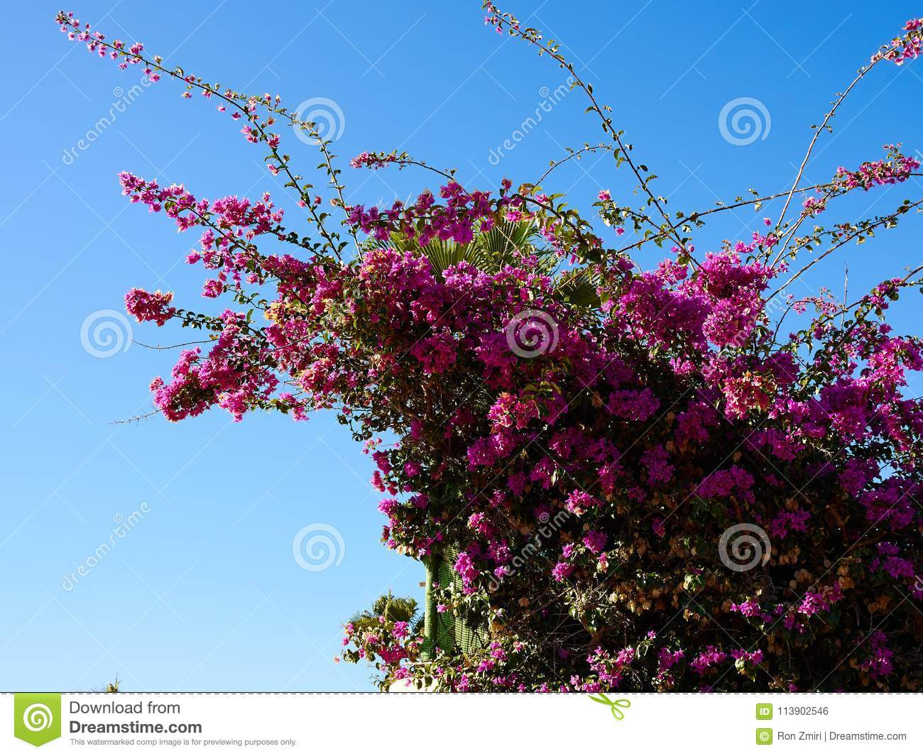 Blooming Bougainvillea Paper Flower Stock Photo Image Of Floral