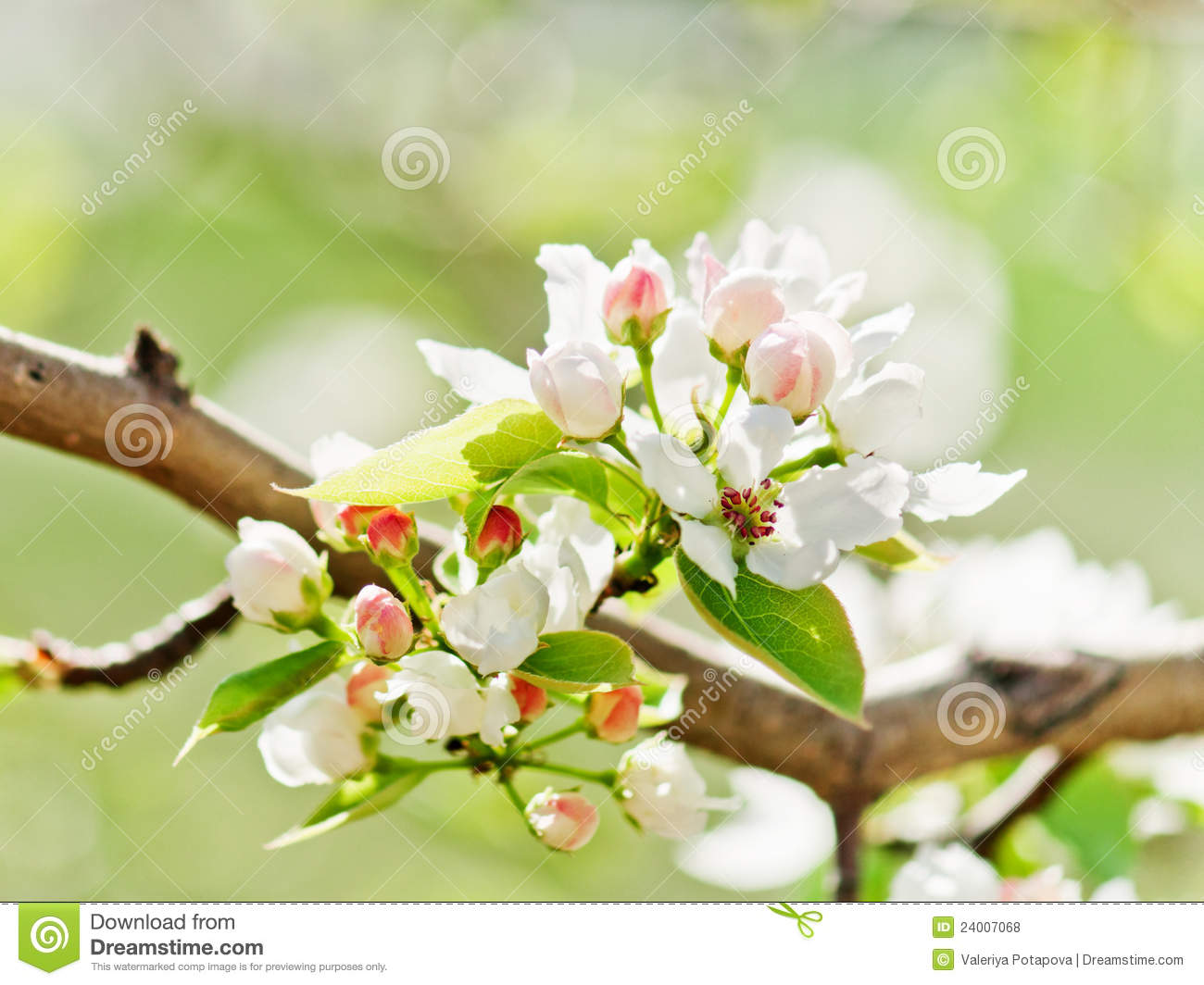 Royalty free stock photos a blooming branch of apple tree