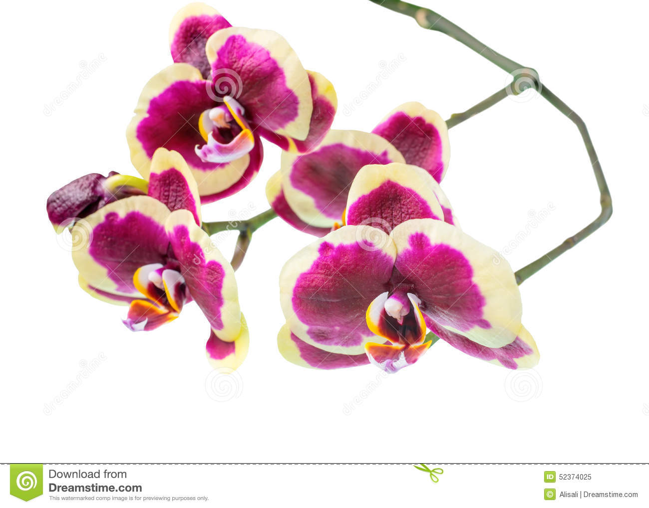 dark purple orchid