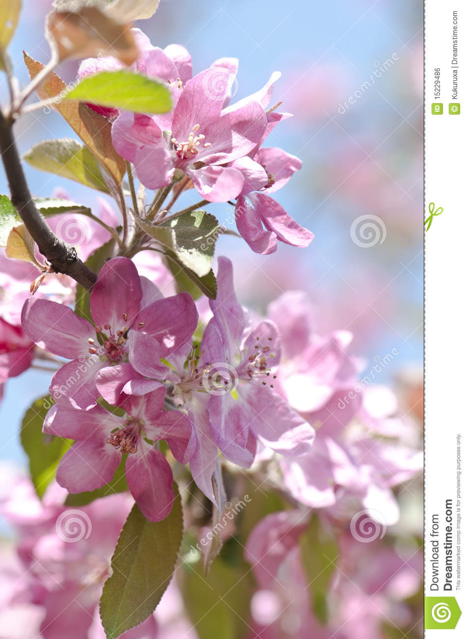 More similar stock images of blooming branch of fruit tree