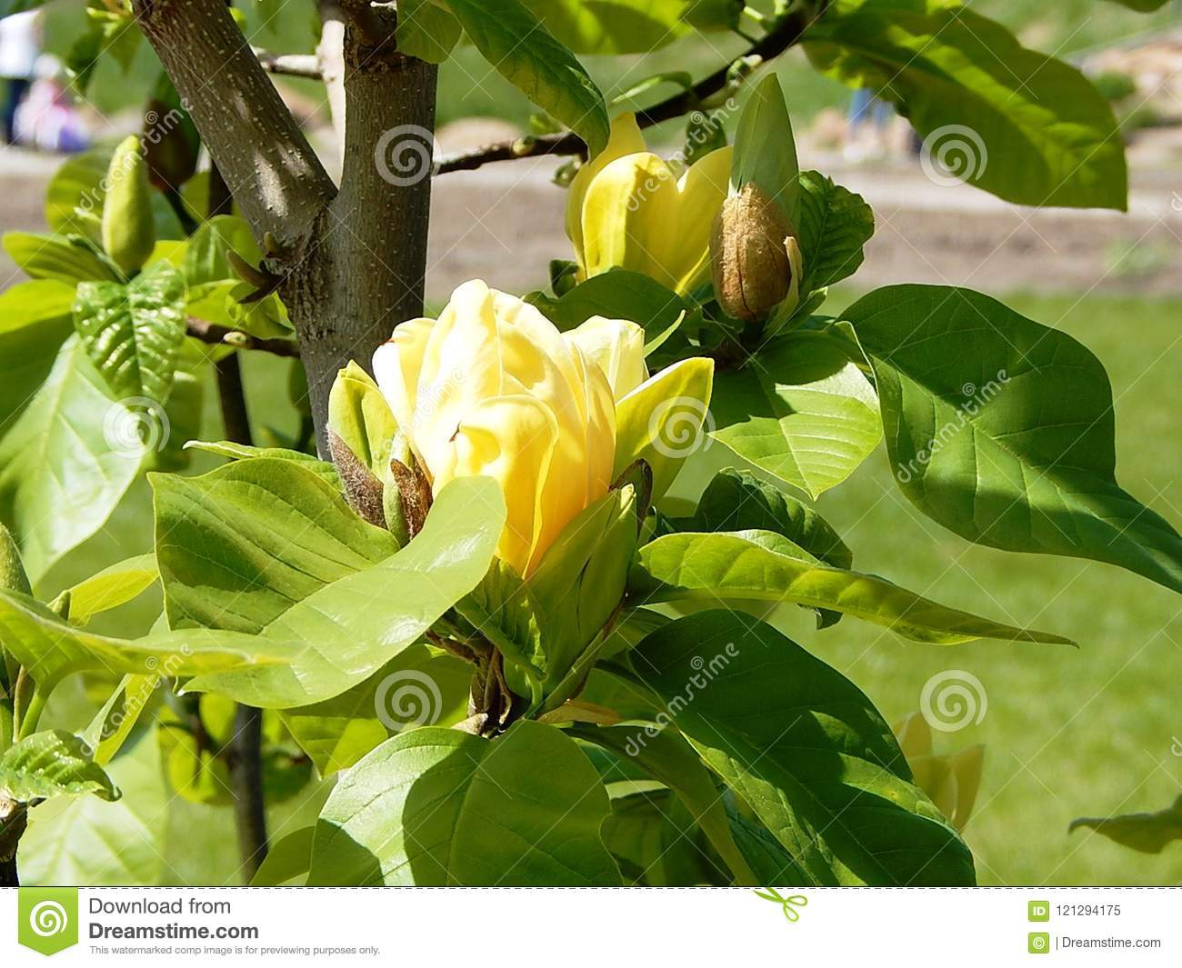 Blooming Branch Of A Magnolia Tree With Yellow Large Flowers Stock