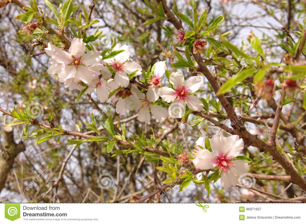 Blooming Branch Of A Plum Tree In Spring Stock Image - Image of ...