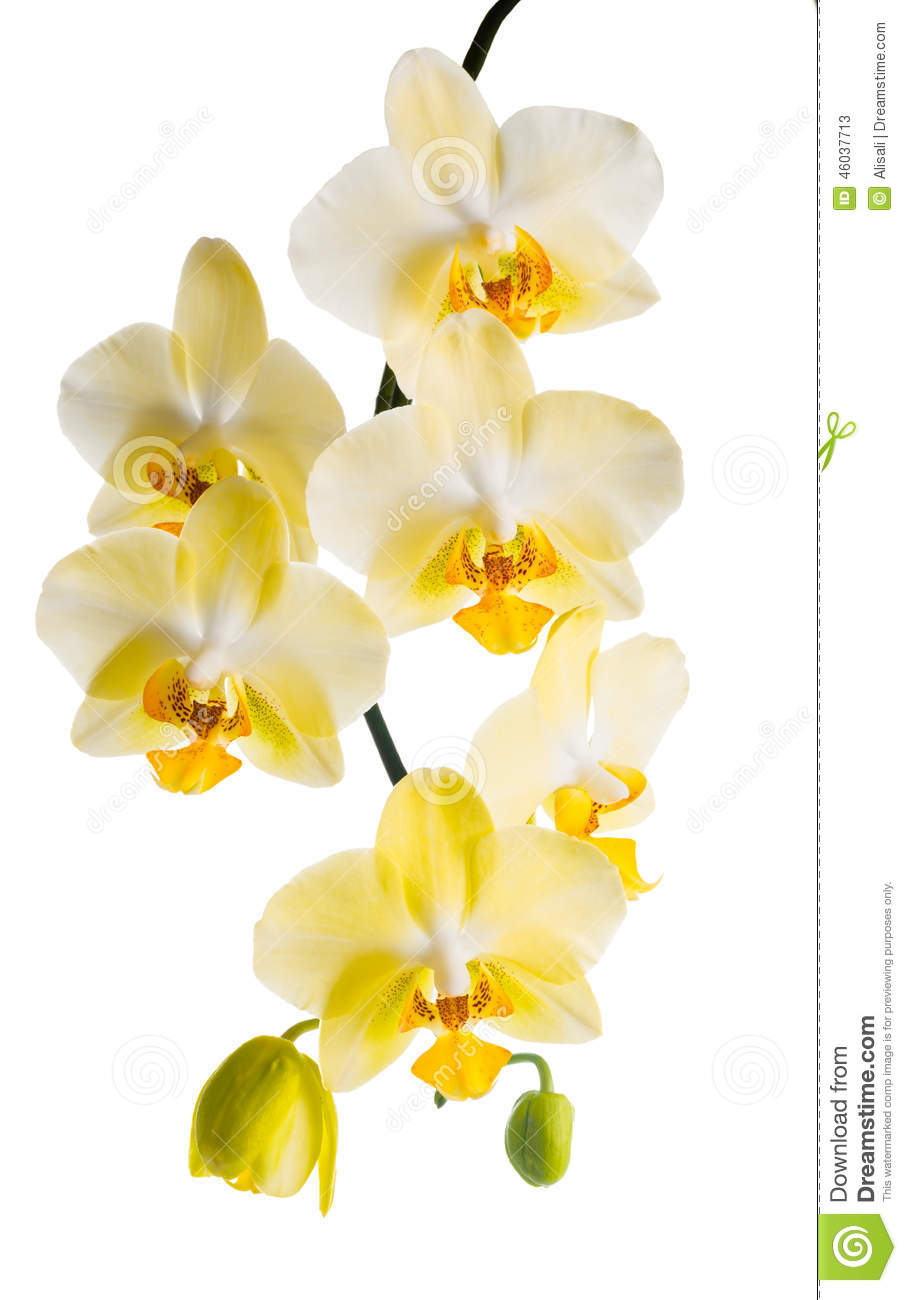 Blooming branch of yellow orchid, phalaenopsis is isolated on white background