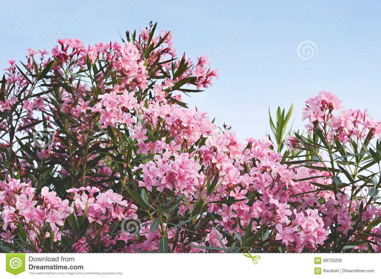 Blooming Bush With Pink Flowers Stock Image Image Of Blossom