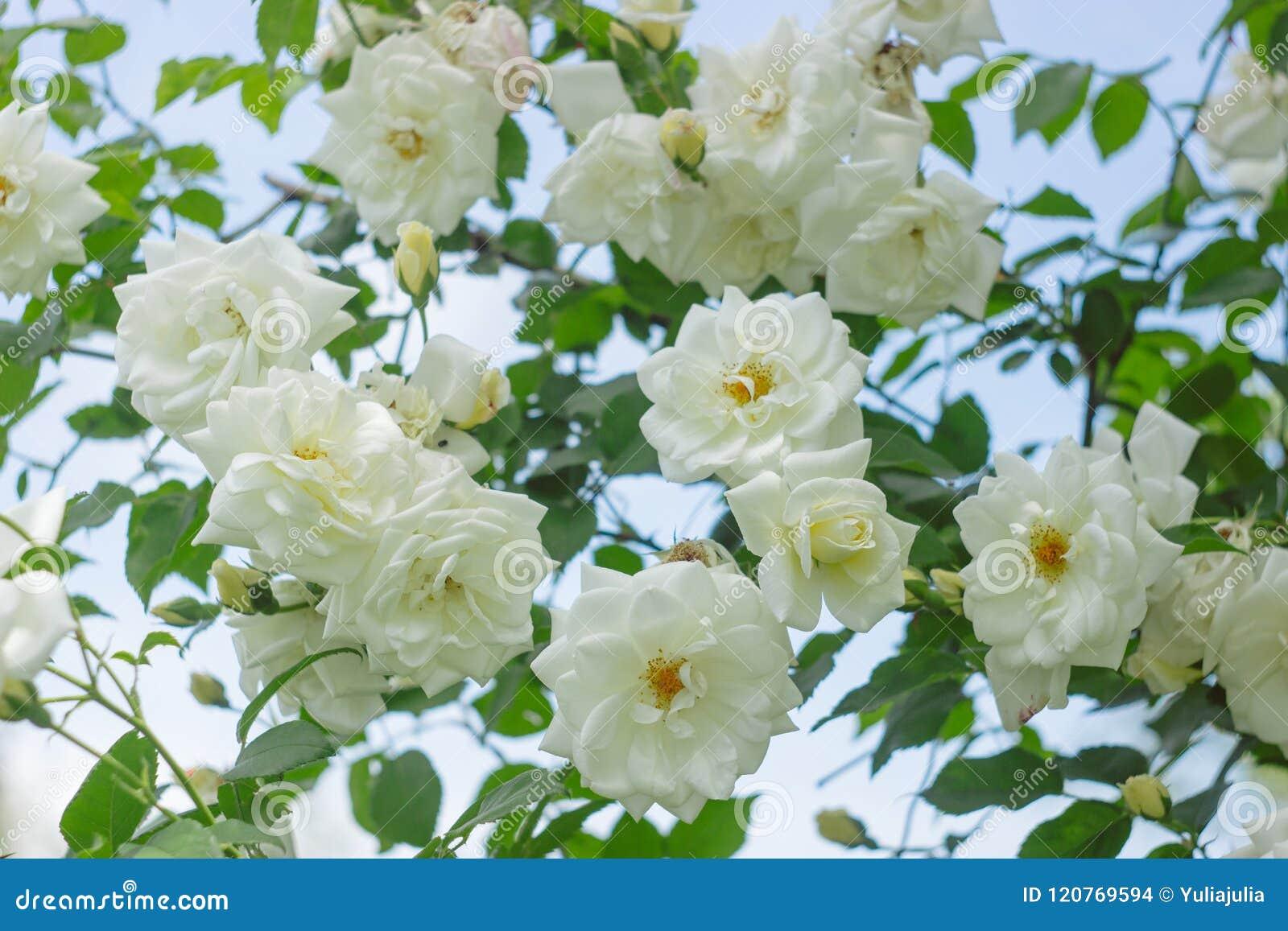 White Garden Roses On A Bush Amon The Leaves Summer Flowers Stock