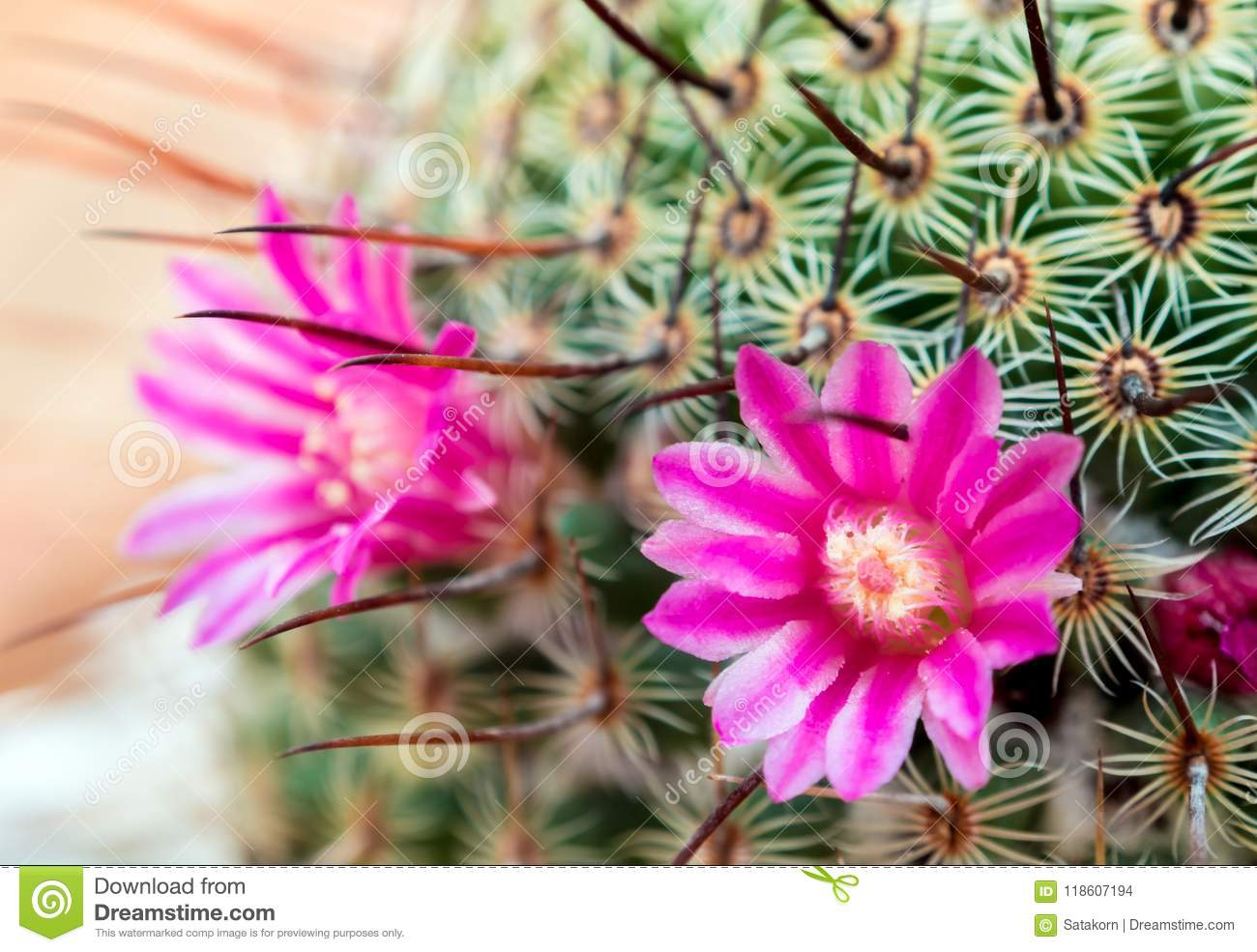 Blooming Cactus With Beautiful Pink Cactus Flowers Stock Photo