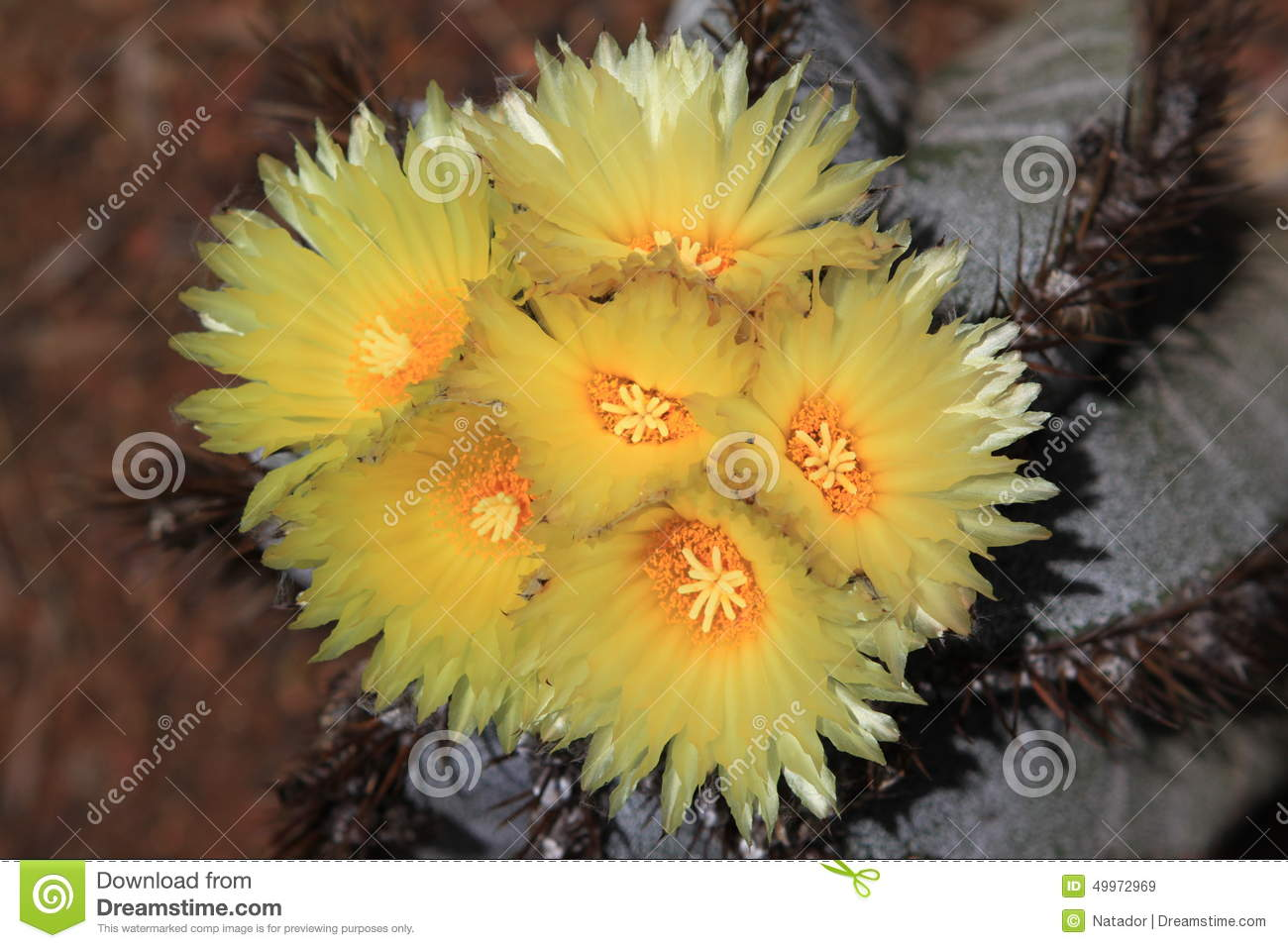 Cactus Flower Stock Image Image Of Postcard Close Flowers 49972969