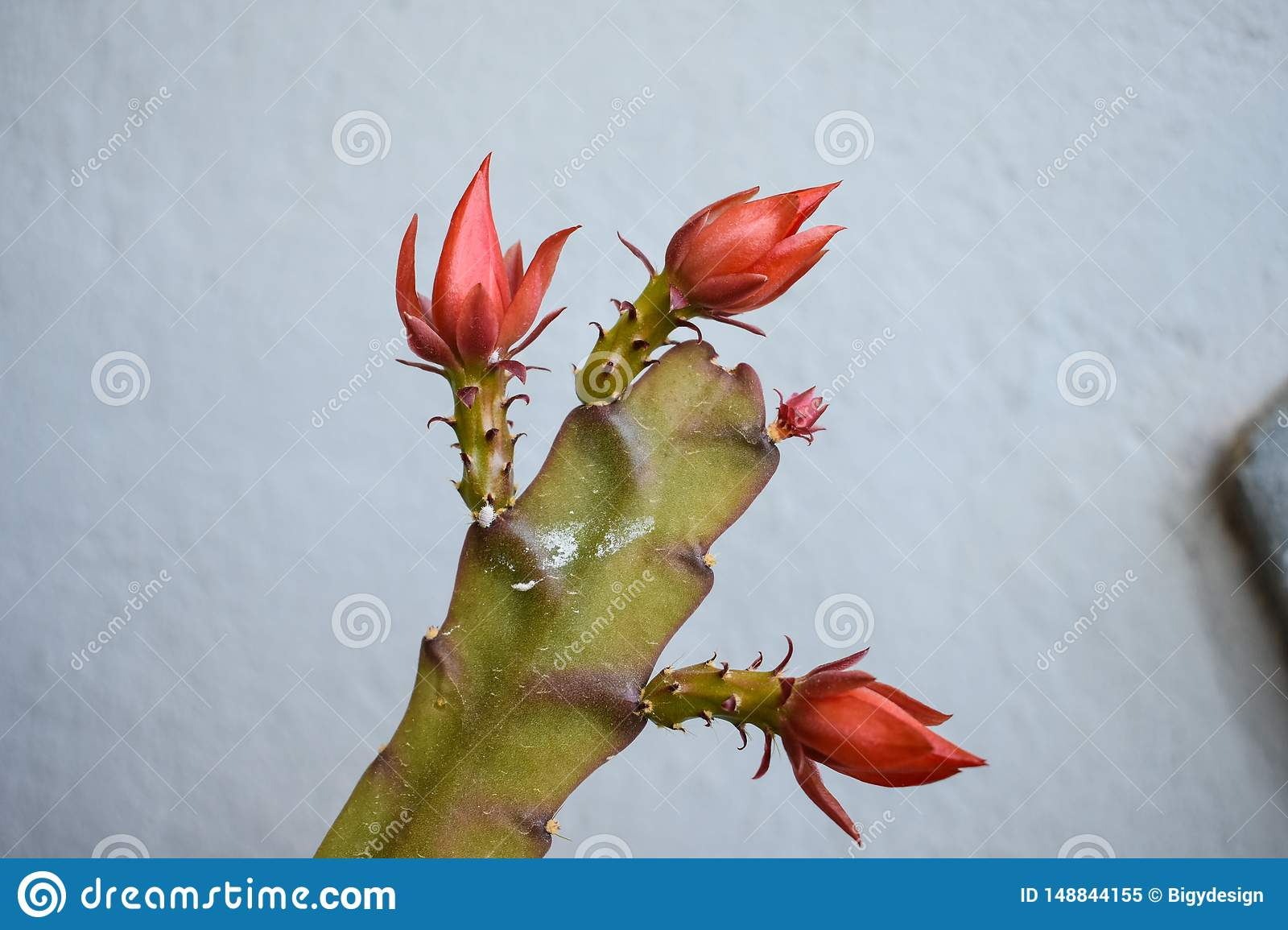 Blooming cactus flower. summer flowers