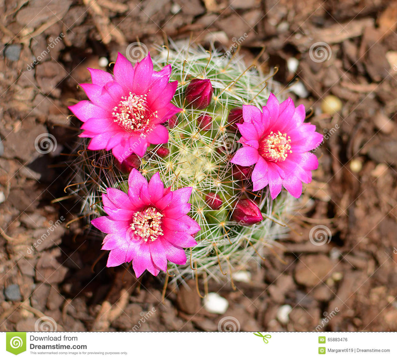 Blooming Cactus With Pink Flowers And Buds Stock Photo Image Of