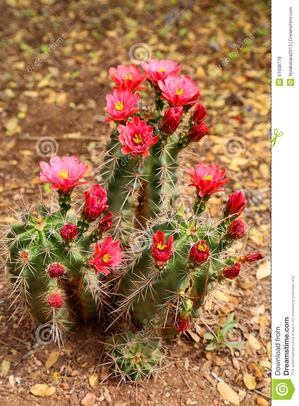 Blooming cactus stock photo image of drought green 51608778 download blooming cactus stock photo image of drought green 51608778 mightylinksfo