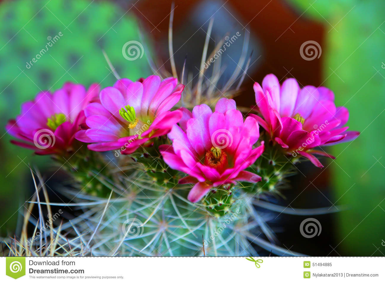 plant cactus pink flower how to make it darker pink