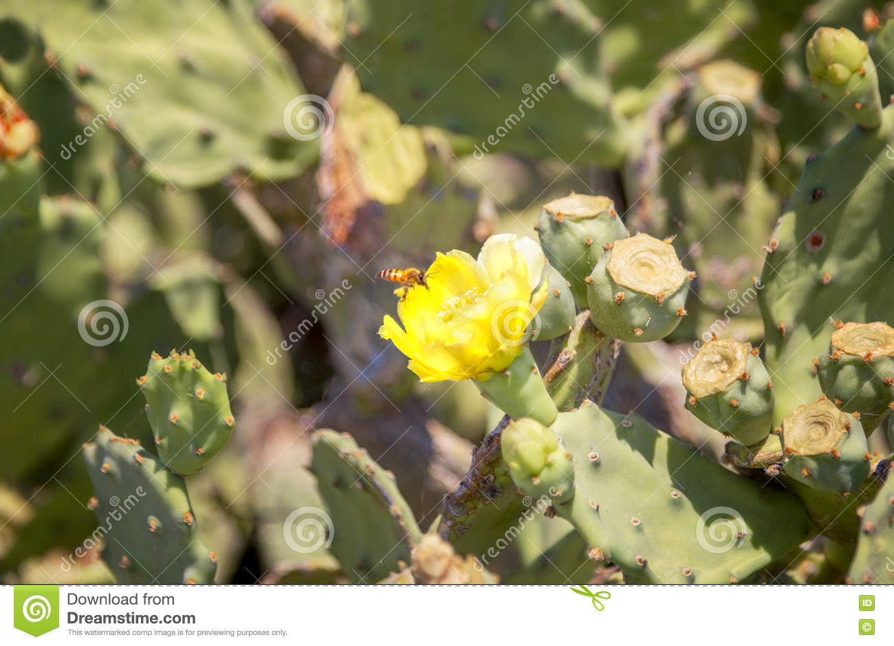 Blooming Cactus With Yellow Flower Stock Photo Image Of Botany