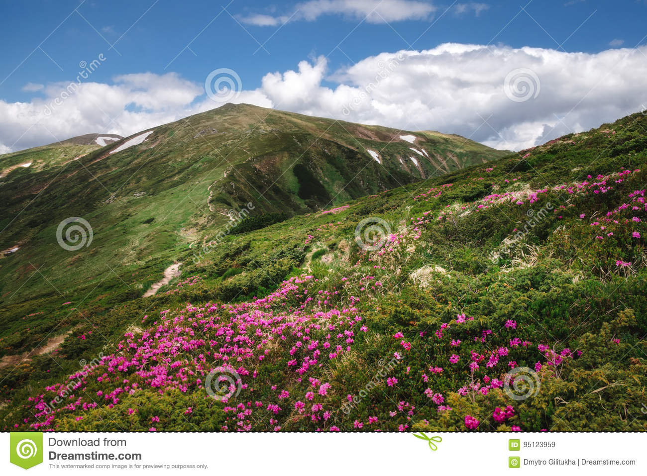 Green mountain landscape with blossoming pink rhododendron flowers in Carpathian mountains with blue sky on background