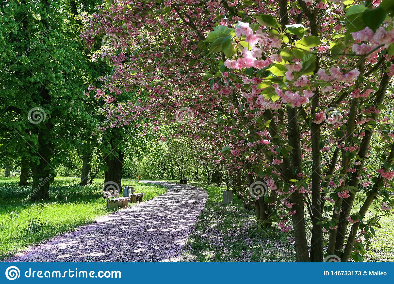 Blooming Cherry Alley in the city park