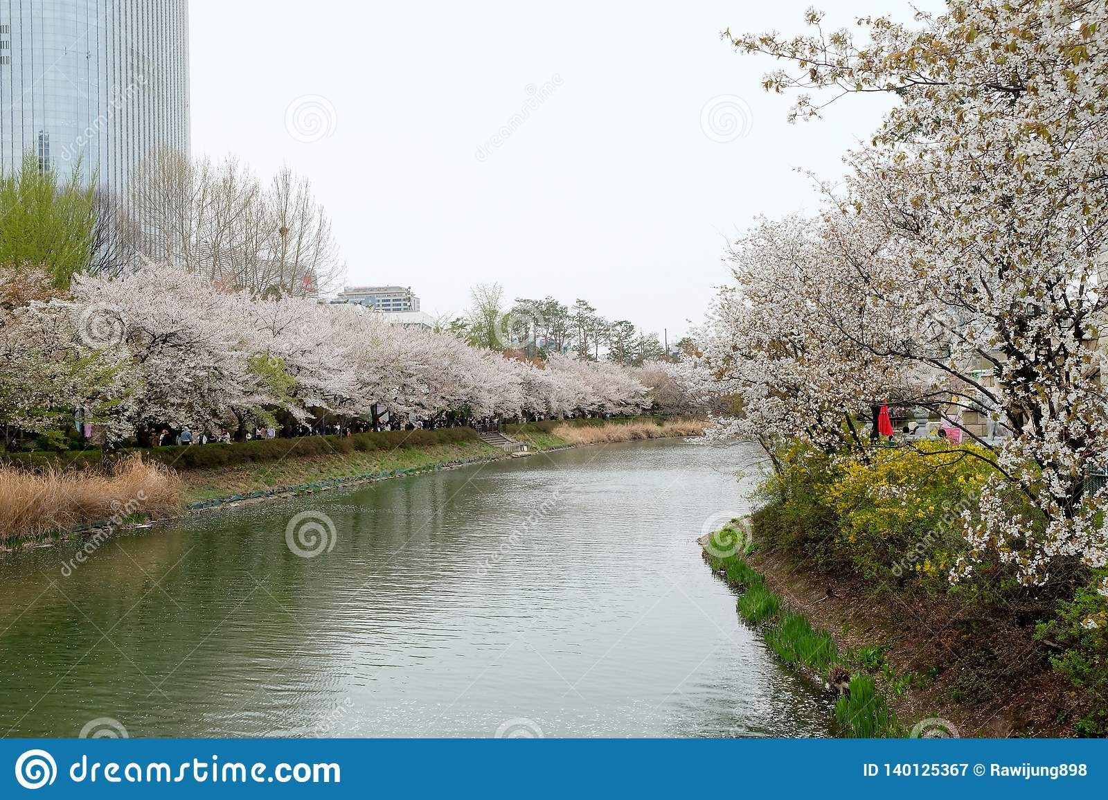 Blooming cherry blossom alley in spring at Lotte World tower