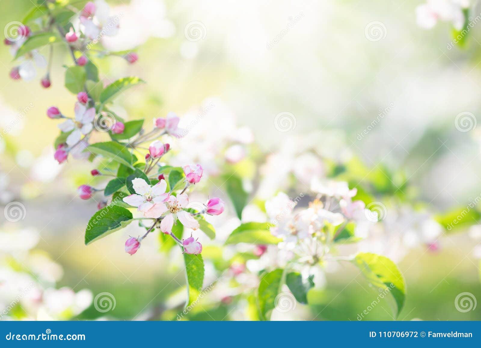 Blooming Cherry Blossom Spring Flower In Garden Stock Photo