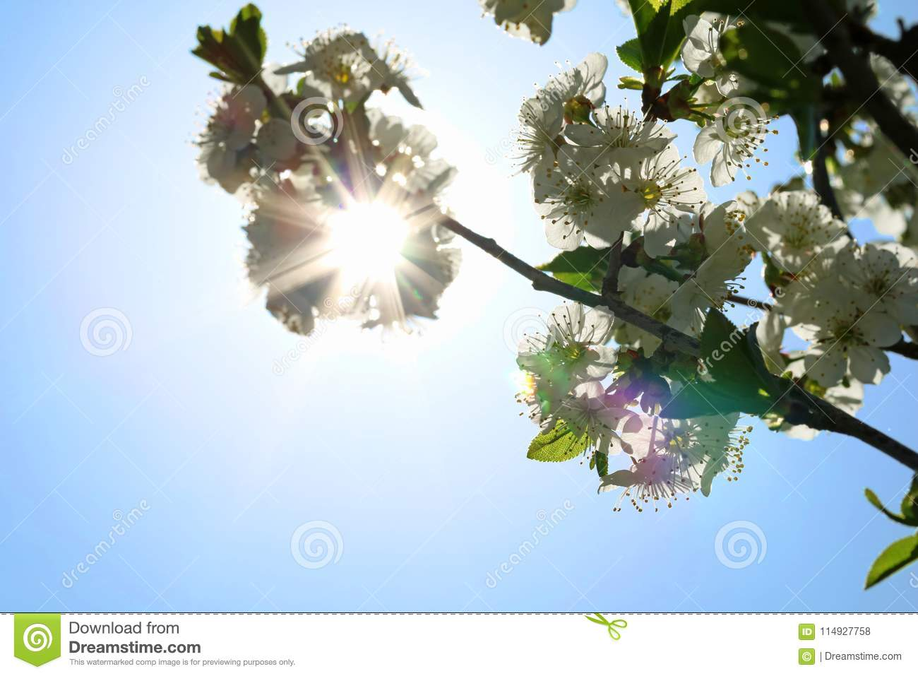 Blooming cherry blossom and sun light in spring