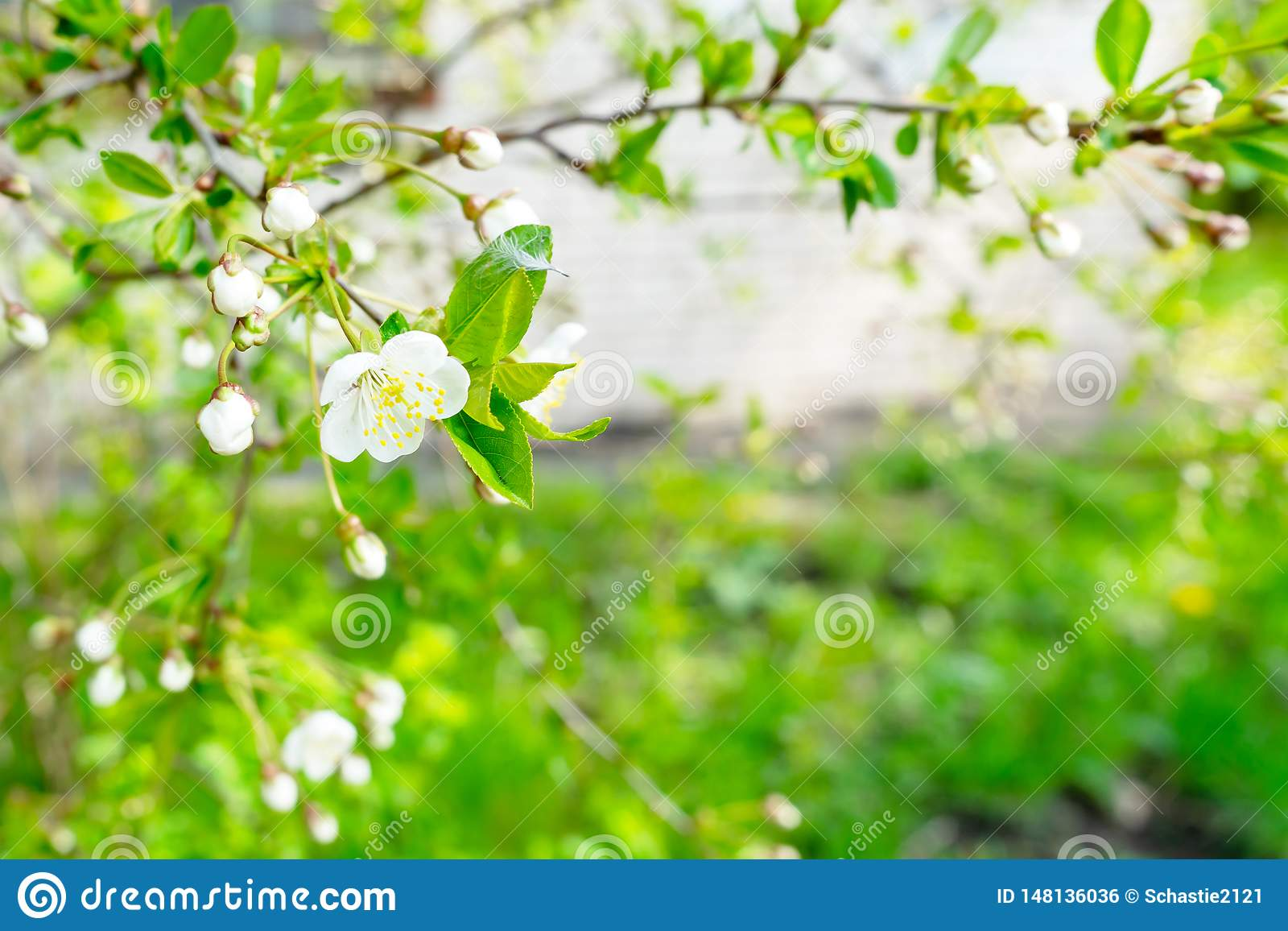 Blooming cherry closeup. Flowers are white.