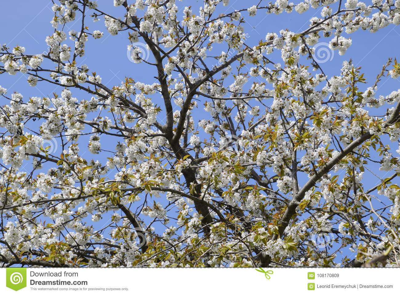 Blooming cherry plum white flowers of plum trees on the branches of white flowers of plum trees on the branches of a tree mightylinksfo