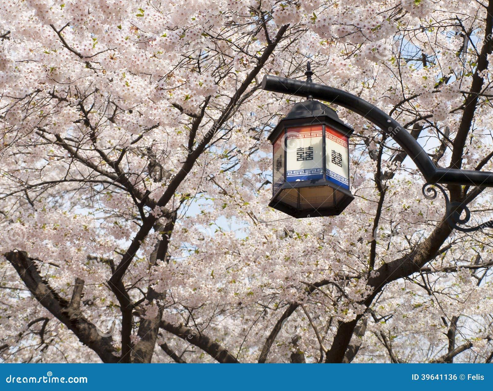 Asian cherry trees