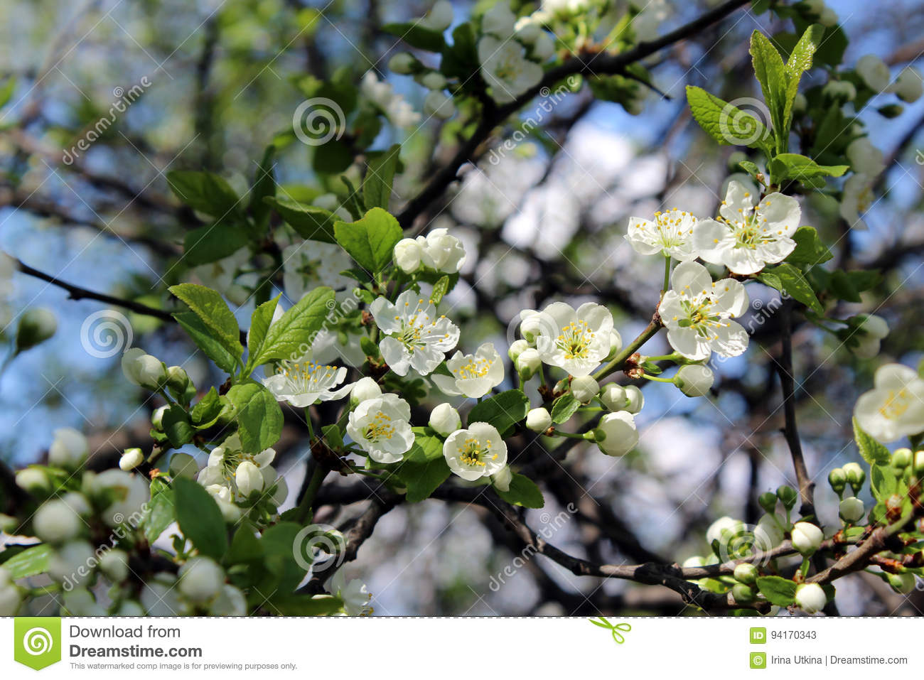 Blooming Cherry Tree Stock Image Image Of White Flowers 94170343