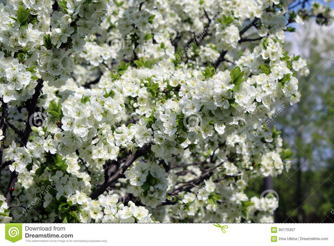 Blooming cherry tree stock image image of white bloom 94170357 download blooming cherry tree stock image image of white bloom 94170357 mightylinksfo