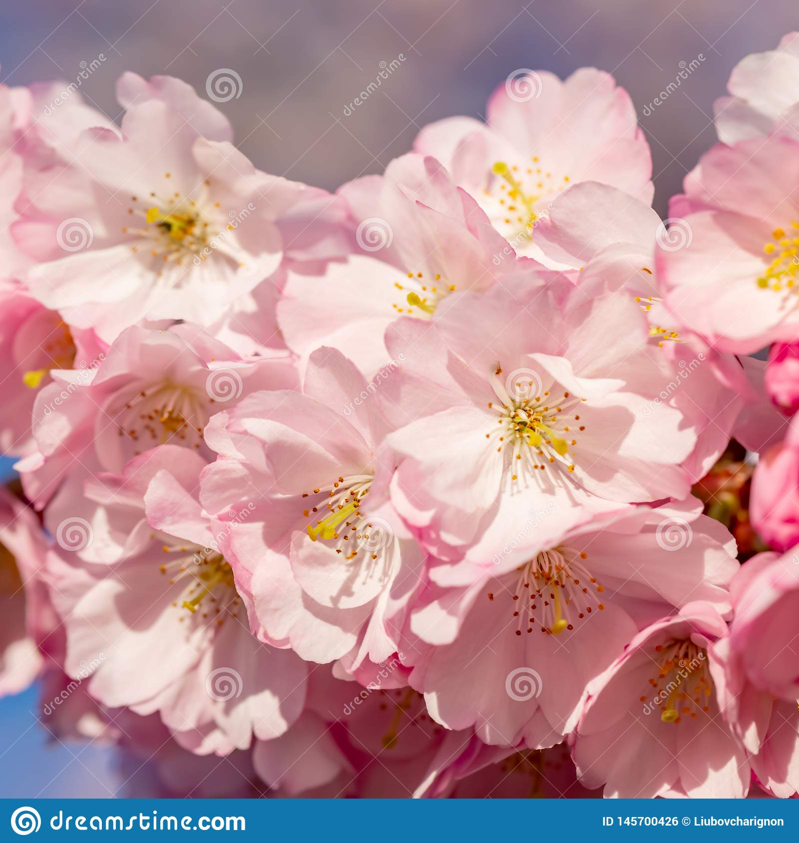 Blooming cherry tree in springtime. Beautiful spring pink flowers in a park.