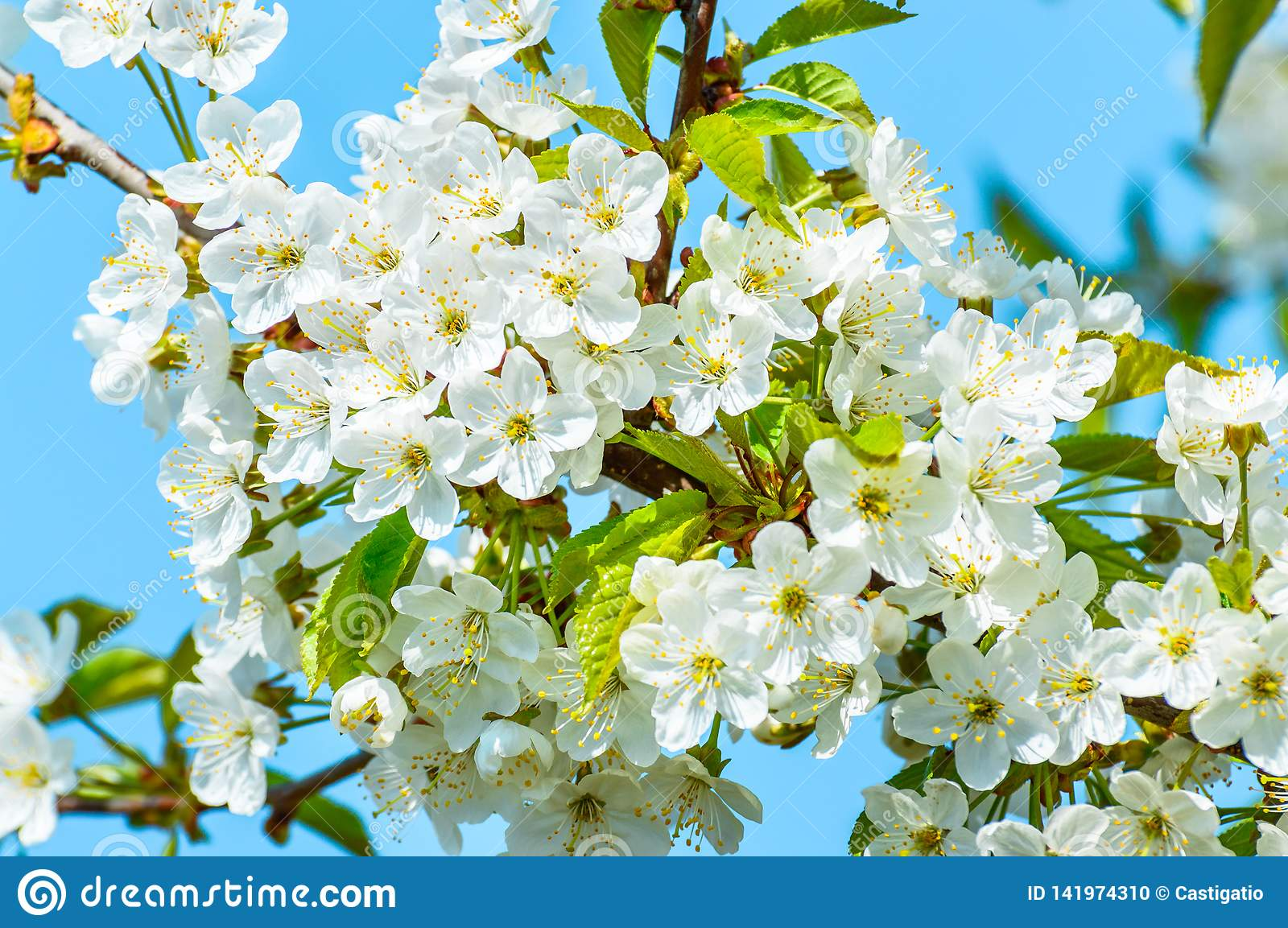 Blooming cherry tree, tiny white flowers against the blue sky