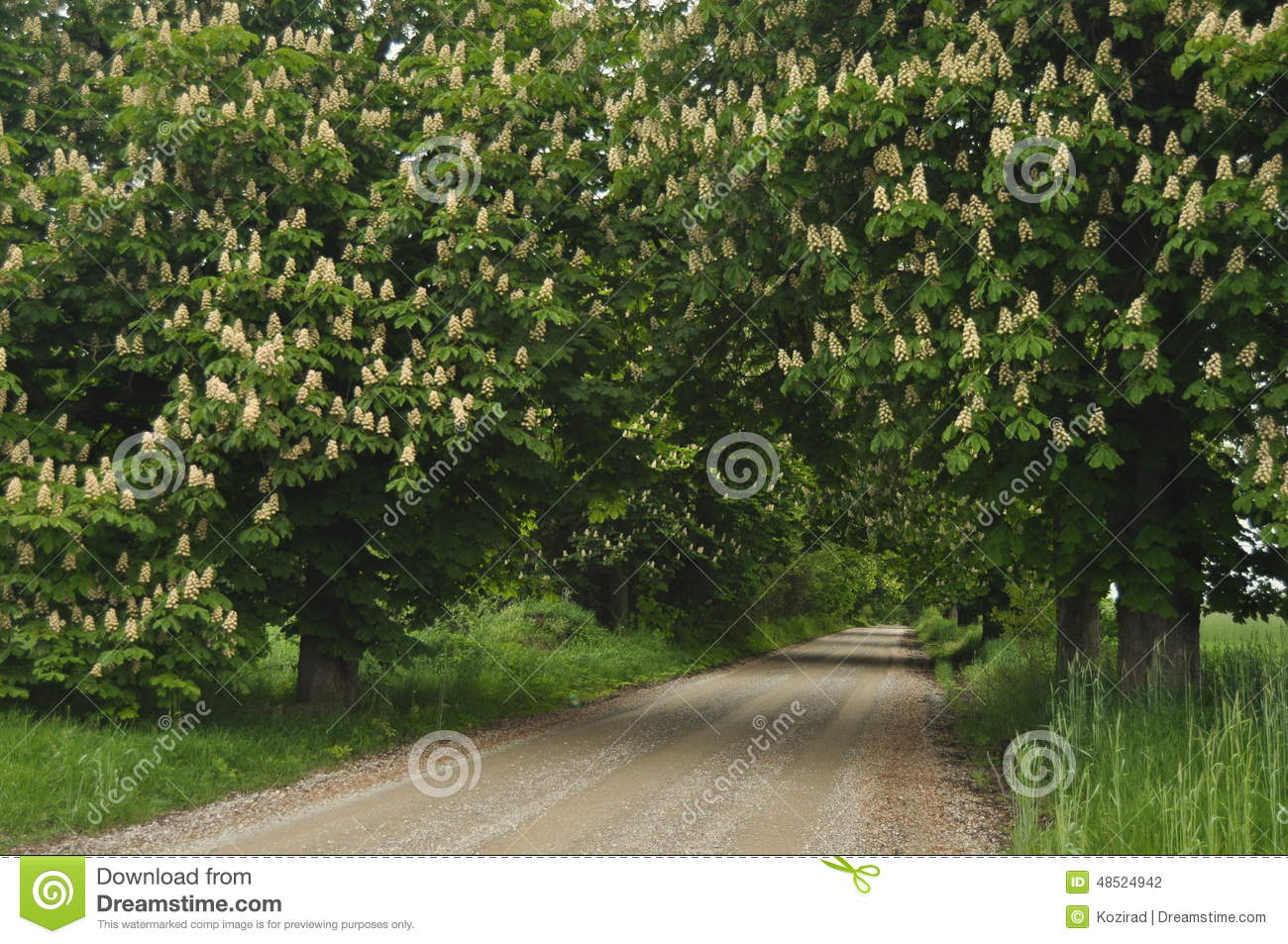 Blooming chestnut trees along the gravel road spring white flowers blooming chestnut trees along the gravel road spring white flowers mightylinksfo
