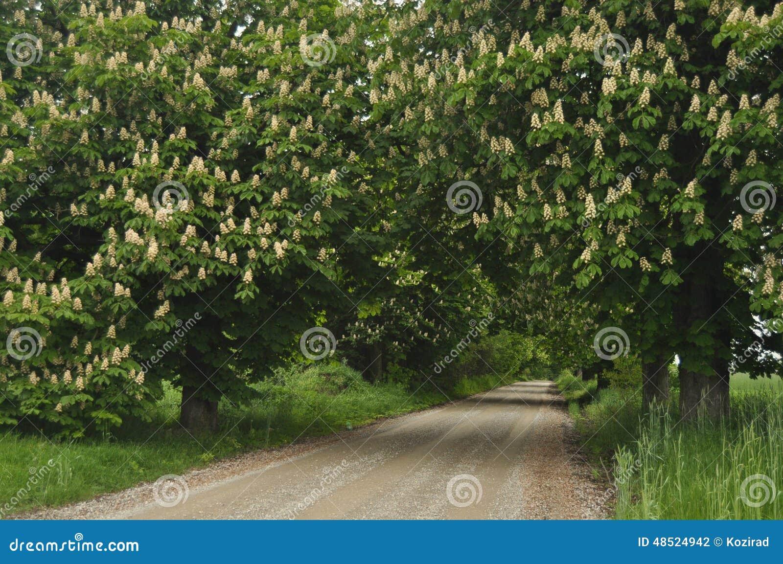 Blooming Chestnut Trees Along The Gravel Road Spring White Flowers
