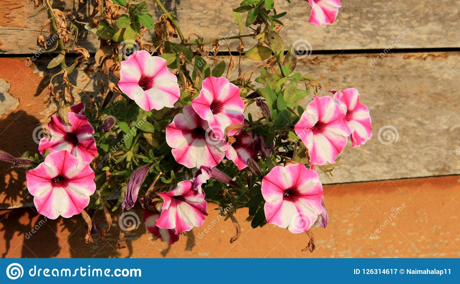 Blooming Colorful Petunias On Wooden Wall