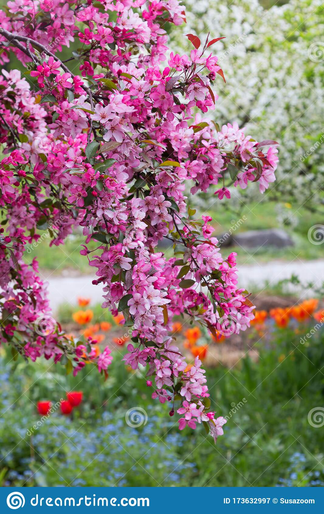 Blooming Crab Apple Branches With Pink Blossoms Spring Landscape