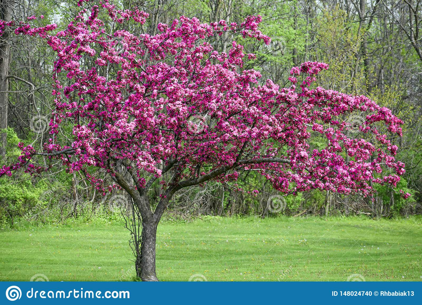 Blooming Crab Apple Tree With Purple Flowers Stock Photo Image