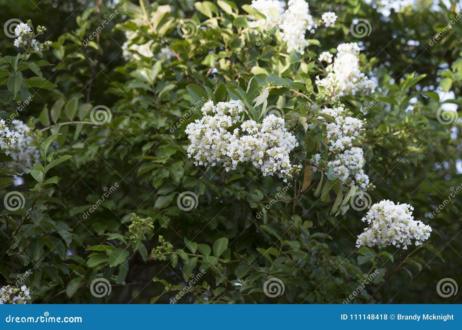 Blooming Crepe Myrtle