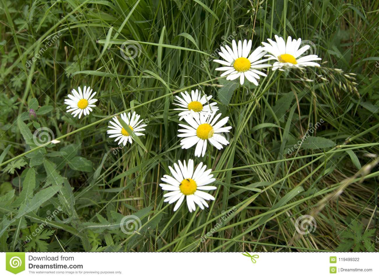 Blooming Daisies Flower Annual Stock Photo Image Of Flower