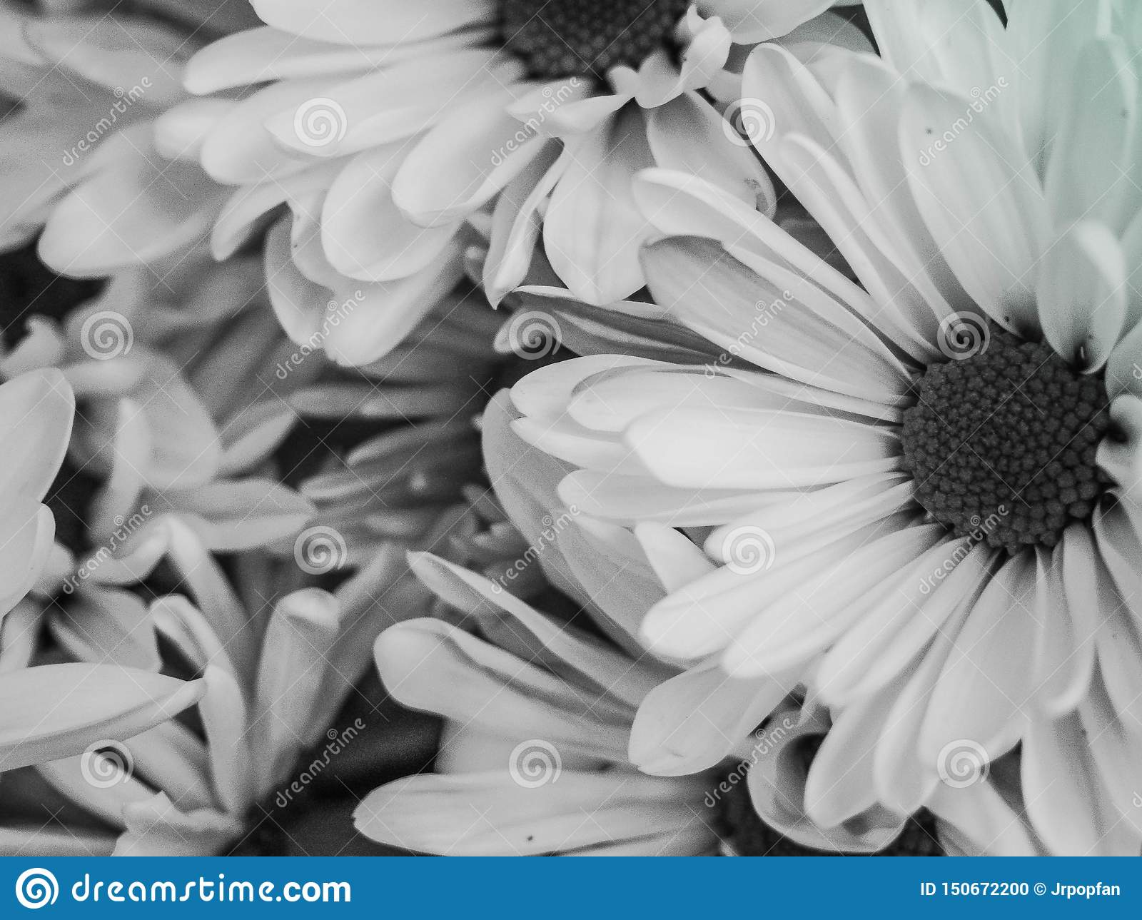 Blooming Daisies Wallpaper Black And White Stock Photo Image Of