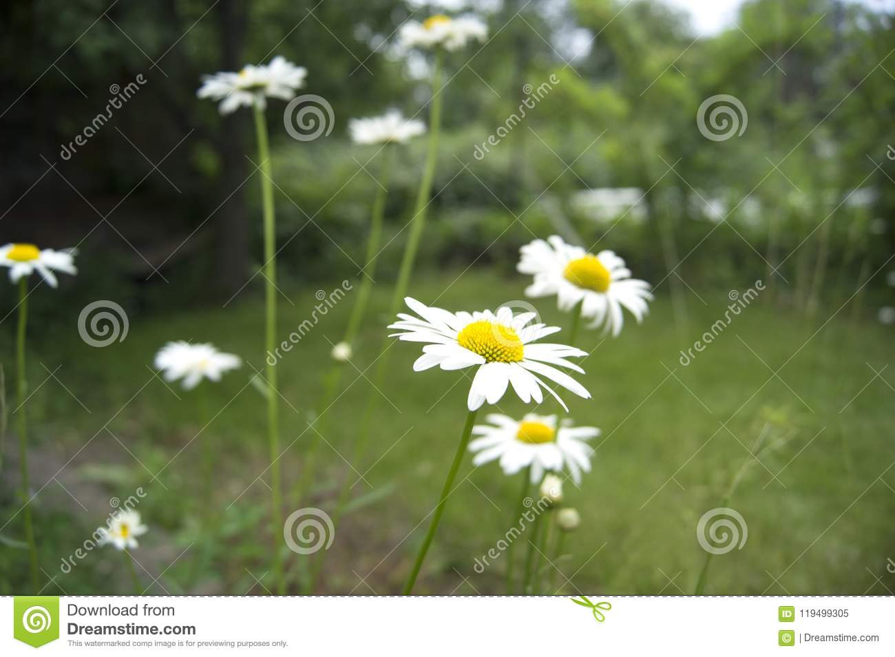 Blooming Daisies White With Yellow Flower Annual Stock Image