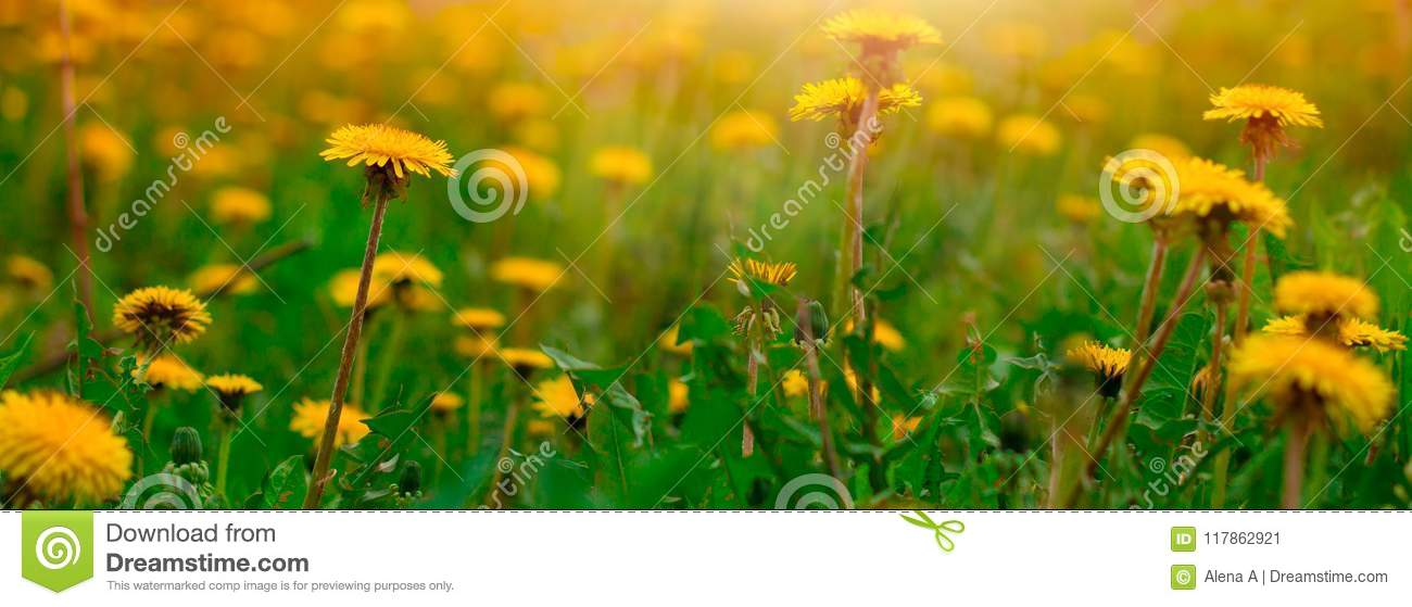 blooming dandelion flowers