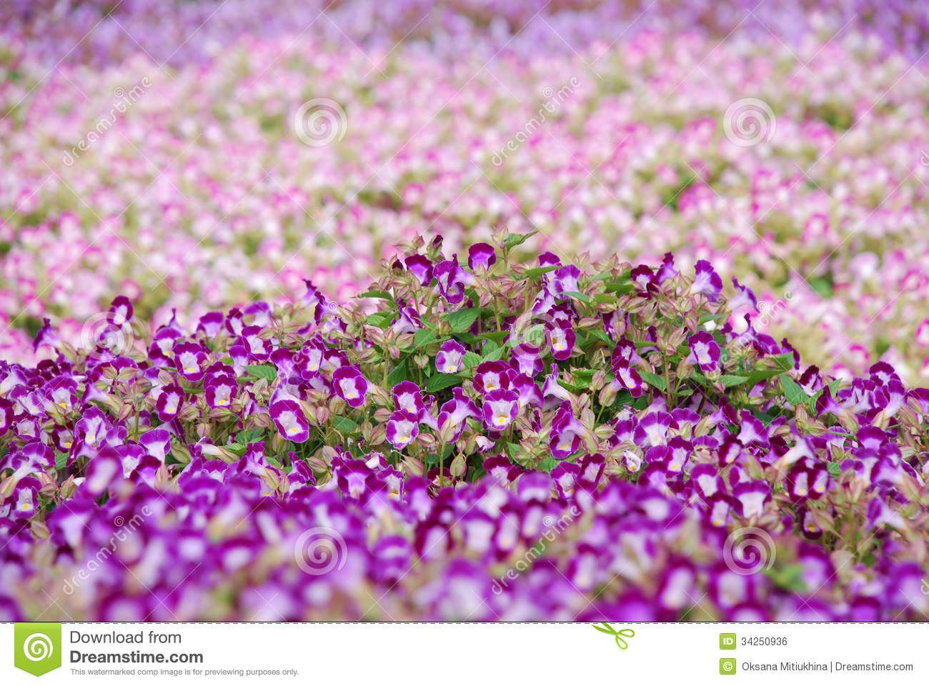 Blooming Dense Flowerbed Of Small Purple Flowers Stock