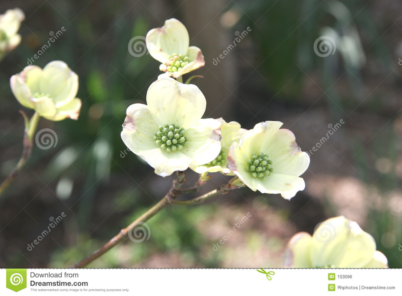 Blooming Dogwood in Spring