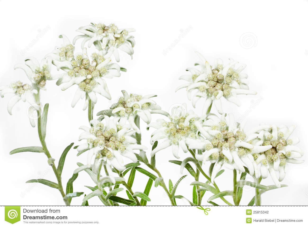 Blooming Edelweiss Flower on white
