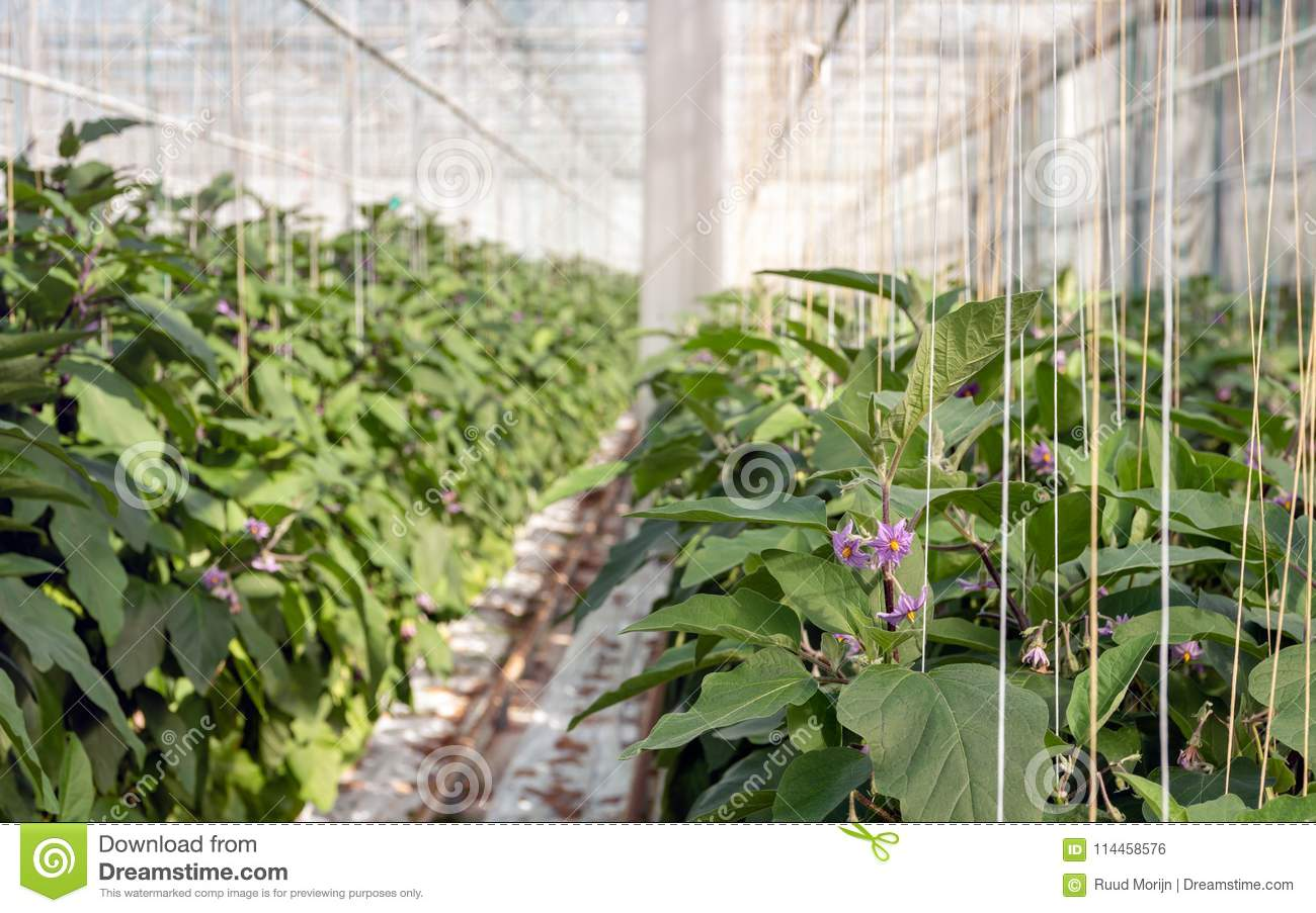 Planting eggplant seedlings and greenhouses in 2018 93