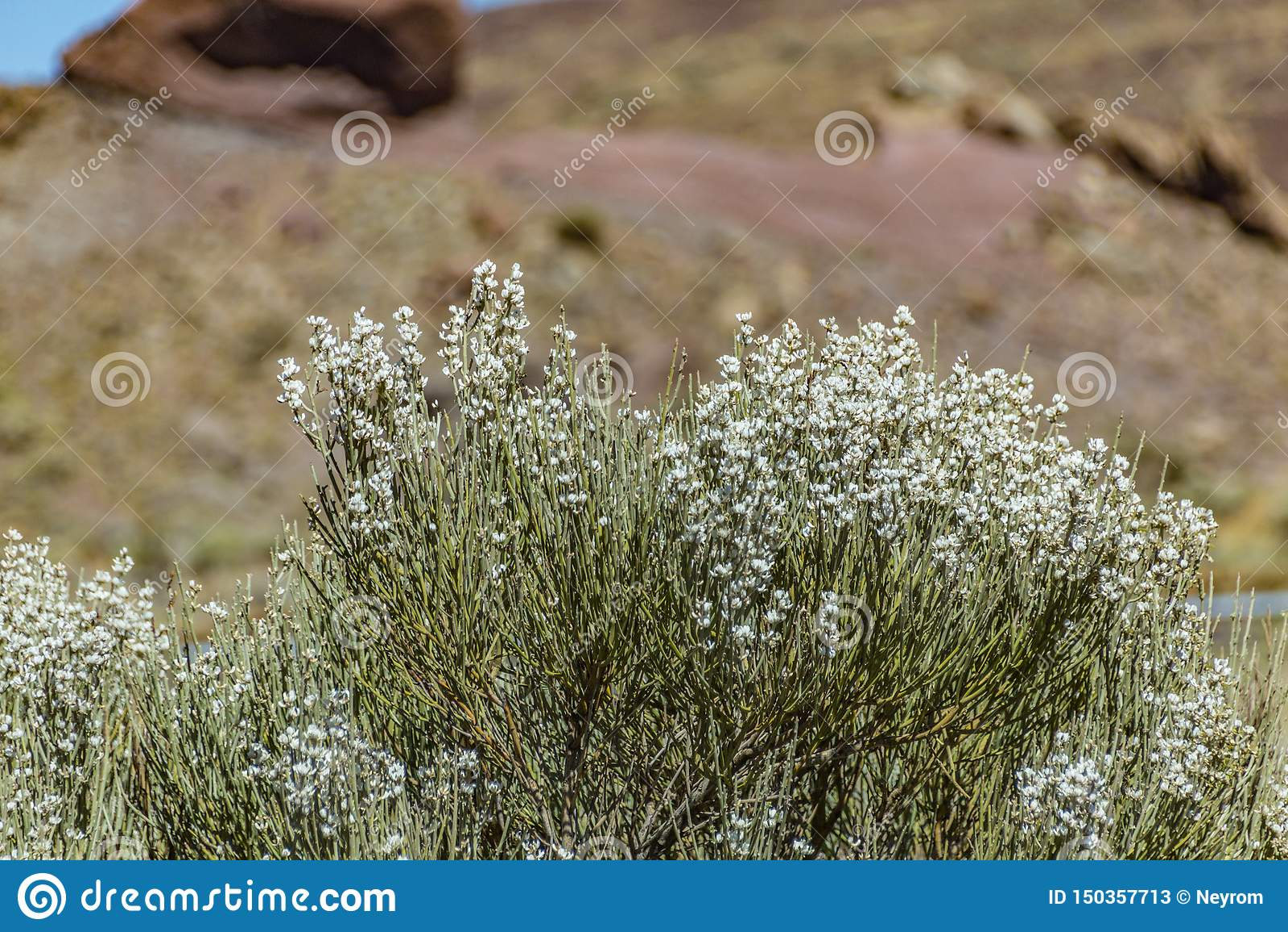 Blooming endemic bush. White flowers of Retama rhodorhizoides. Red lava rocks on the blurred background National Park Teide,